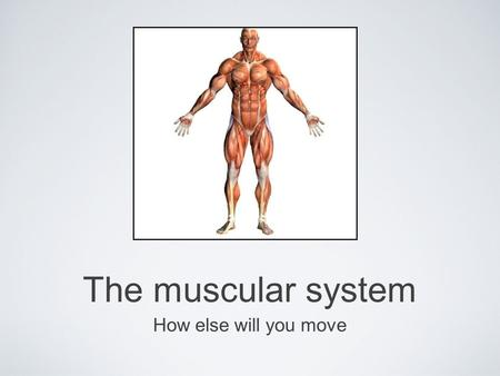 The muscular system How else will you move. Skeletal Fibers Fascicle- bundle of muscle fibers within a muscle Based on their organization, muscles are.