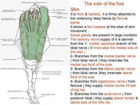 The sole of the foot Skin It is thick & hairless. It is firmly attached to the underlying deep fascia by fibrous bands. It shows a few creases at the sites.