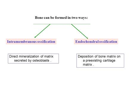Bone can be formed in two ways: Direct mineralization of matrix secreted by osteoblasts. Deposition of bone matrix on a preexisting cartilage matrix. Intramembranous.