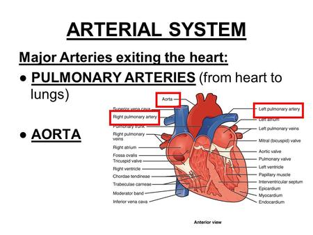 ARTERIAL SYSTEM Major Arteries exiting the heart: ● PULMONARY ARTERIES (from heart to lungs) ● AORTA.