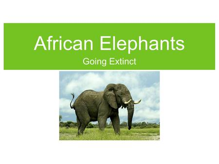 African Elephants Going Extinct. Physical Characteristics The body is gray and it has a long nose called a trunk. They have ivory tusks to dig for water.