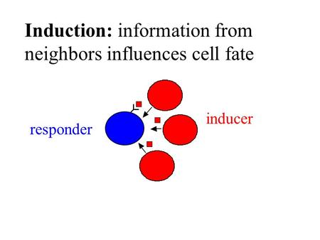 Induction: information from neighbors influences cell fate inducer responder.