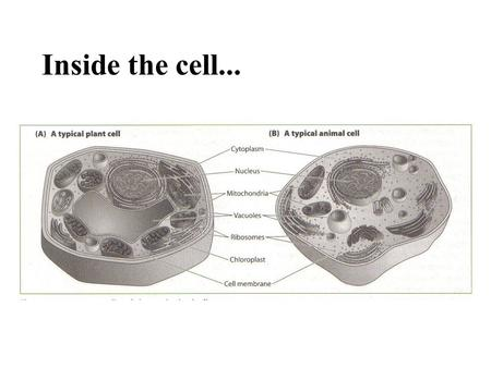 Inside the cell.... Organelles formed of many different molecules vary enormously in size, shape and function interact to transport materials, extract.
