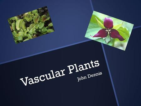 Vascular <strong>Plants</strong> John Dennis. Vascular <strong>Plants</strong>  Vascular <strong>plants</strong> are <strong>plants</strong> that contain lignified tissues.  This helps conduct water, minerals, and photosynthetic.