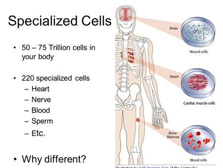 Specialized Cells 50 – 75 Trillion cells in your body 220 specialized cells –Heart –Nerve –Blood –Sperm –E tc. Why different?
