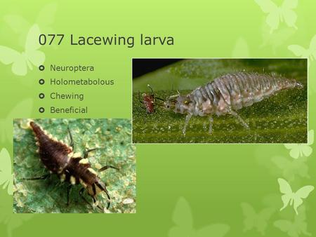 077 Lacewing larva  Neuroptera  Holometabolous  Chewing  Beneficial.