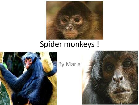 Spider monkeys ! By Maria. defenses A spider monkey has a very strong tail. It can camouflage itself. It can really stretch out! It has enemies they are.