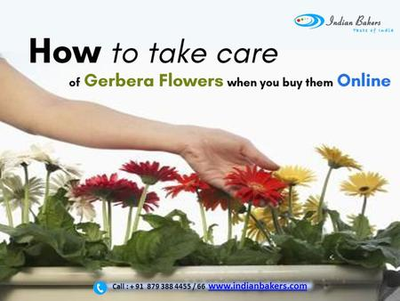 How to take care of Gerbera Flowers when you buy them online? | Gerbera Flower Delivery