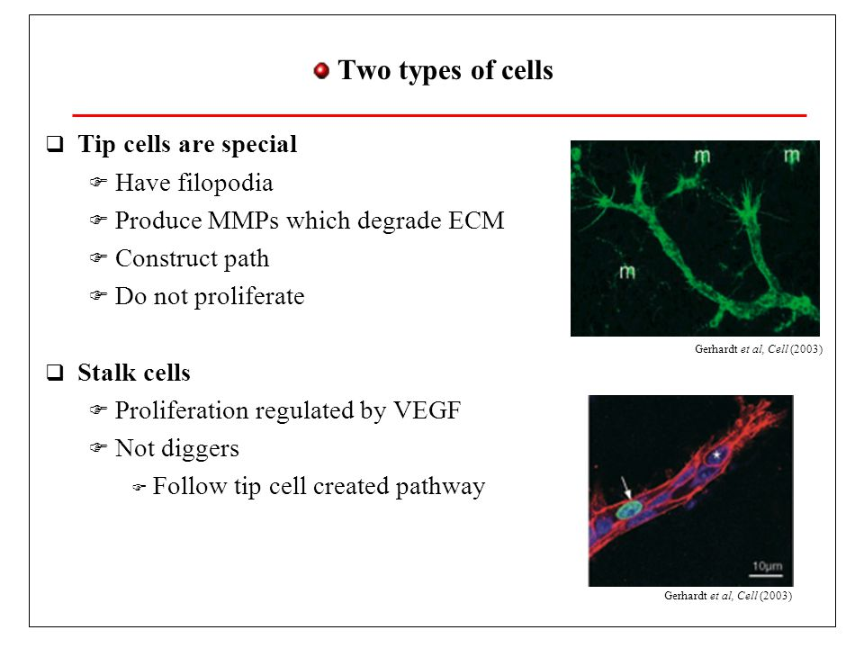 Angiogenesis in a Nutshell  Capillaries are constituted by  Endothelial cells  Pericites, muscle cells Endothelial cells Pericites, smooth muscle cells… VEGF  VEGF weakens capillary wall  Endothelial cells may divide  Cells follow VEGF gradient  The first cell is activated and opens way in ECM  Cells organize to form lumen  Blood flows when capillaries form loops  Blood reorganizes network Meyer et al, Am.J.Path.