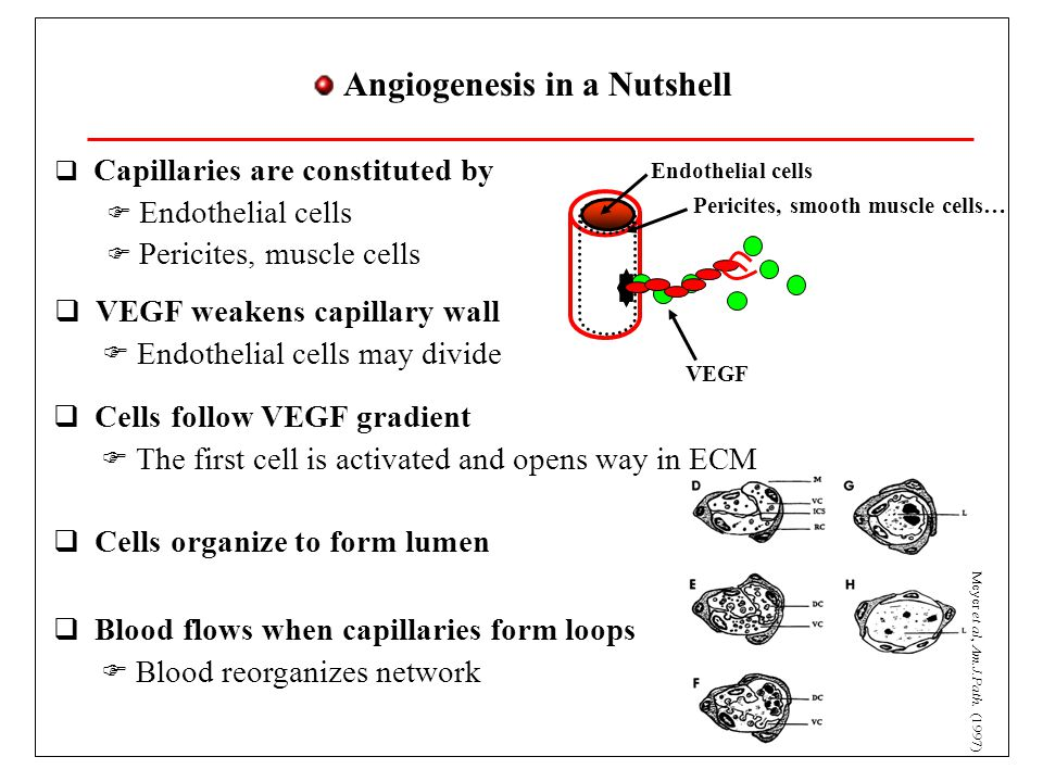 Tip cells: Notch and Dll-4  New branches do not form everywhere  Tip cells regulated by Notch pathway  VEGF activates cell receptor (VEGFR2)  Many pathways (reproduction, survival, cell activation)  Promotes Dll-4  Dll-4 activates Notch in neighboring cell  Notch represses VEGFR2  Tip cells are not neighbors (salt and pepper pattern) VEGFR2 survival activation reproduction Dll-4 Notch