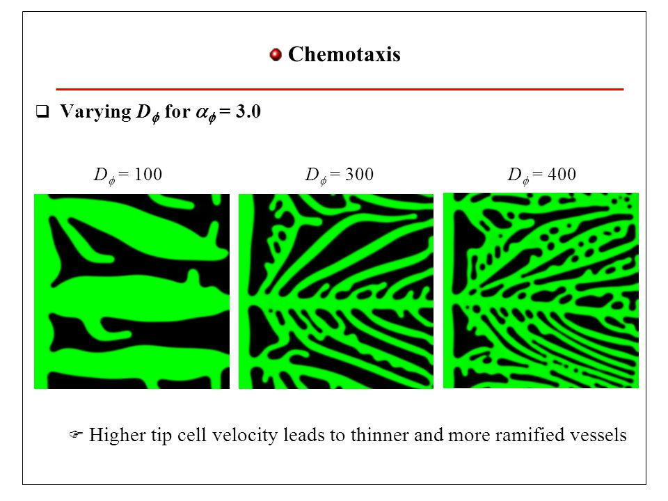 VEGF Prodution  Varying T s,  for   and D 2 constants  Higher production of VEGF leads to more vessels but not thicker vessels T s = 1.0T s = 1.2 Gerhardt et al., Develop.