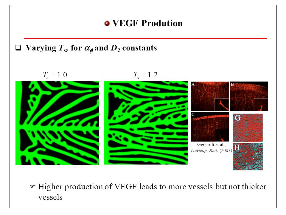 Matrix Metalloproteinase  MMPs implementation:  Heavy VEGF isoforms get bound to matrix if c MMP high  c MMP high in a radius R MMP of tumor cell  Diffusion in function of T h  Formation of thick vessels  Thin vessel merging Rodriguez-Manzaneque et al, PNAS (2001) MMP-9 Inhibition MMP-9 Overexpressed ThTh D high c MMP low c MMP