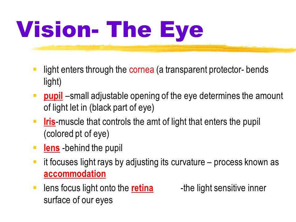 Vision- The Eye  light enters through the cornea (a transparent protector- bends light)  pupil –small adjustable opening of the eye determines the amount of light let in (black part of eye)  Iris -muscle that controls the amt of light that enters the pupil (colored pt of eye)  lens -behind the pupil  it focuses light rays by adjusting its curvature – process known as accommodation  lens focus light onto the retina -the light sensitive inner surface of our eyes