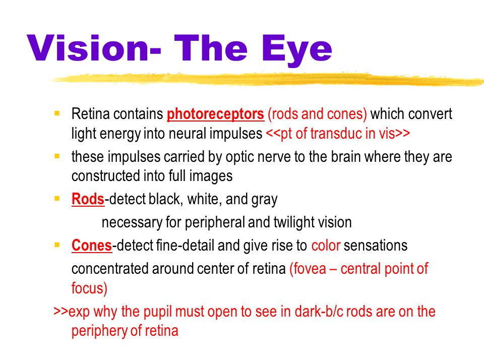 Vision- The Eye  Retina contains photoreceptors (rods and cones) which convert light energy into neural impulses >  these impulses carried by optic nerve to the brain where they are constructed into full images  Rods -detect black, white, and gray necessary for peripheral and twilight vision  Cones -detect fine-detail and give rise to color sensations concentrated around center of retina (fovea – central point of focus) >>exp why the pupil must open to see in dark-b/c rods are on the periphery of retina