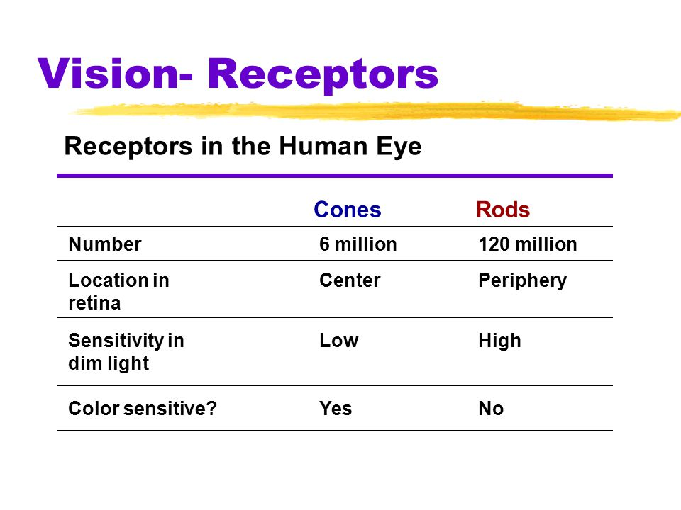 Vision- Receptors Receptors in the Human Eye ConesRods Number Location in retina Sensitivity in dim light Color sensitive?Yes Low Center 6 million No High Periphery 120 million