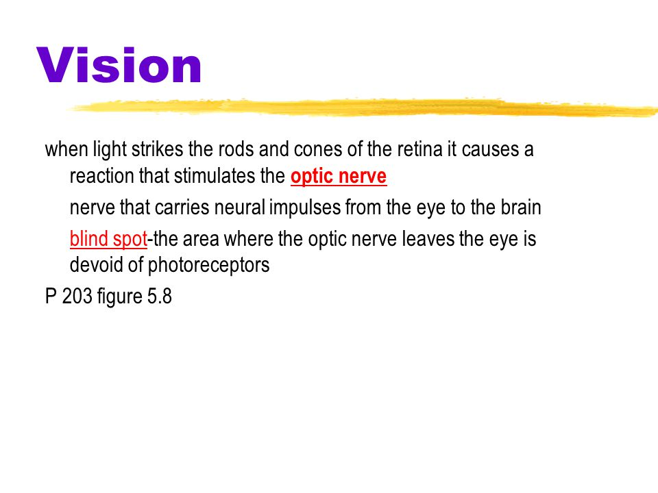 Vision when light strikes the rods and cones of the retina it causes a reaction that stimulates the optic nerve nerve that carries neural impulses from the eye to the brain blind spot-the area where the optic nerve leaves the eye is devoid of photoreceptors P 203 figure 5.8