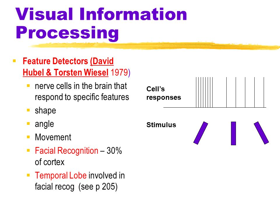 Visual Information Processing  Feature Detectors (David Hubel & Torsten Wiesel 1979)  nerve cells in the brain that respond to specific features  shape  angle  Movement  Facial Recognition – 30% of cortex  Temporal Lobe involved in facial recog (see p 205) Stimulus Cell's responses