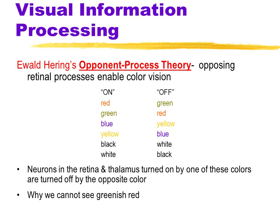 Visual Information Processing Ewald Hering's Opponent-Process Theory - opposing retinal processes enable color vision ON OFF red green green red blue yellow yellow blue black white white black Neurons in the retina & thalamus turned on by one of these colors are turned off by the opposite color Why we cannot see greenish red
