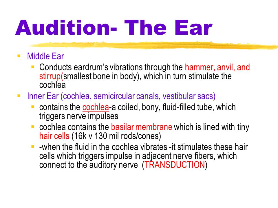 Audition- The Ear  Middle Ear  Conducts eardrum's vibrations through the hammer, anvil, and stirrup(smallest bone in body), which in turn stimulate the cochlea  Inner Ear (cochlea, semicircular canals, vestibular sacs)  contains the cochlea-a coiled, bony, fluid-filled tube, which triggers nerve impulses  cochlea contains the basilar membrane which is lined with tiny hair cells (16k v 130 mil rods/cones)  -when the fluid in the cochlea vibrates -it stimulates these hair cells which triggers impulse in adjacent nerve fibers, which connect to the auditory nerve (TRANSDUCTION)