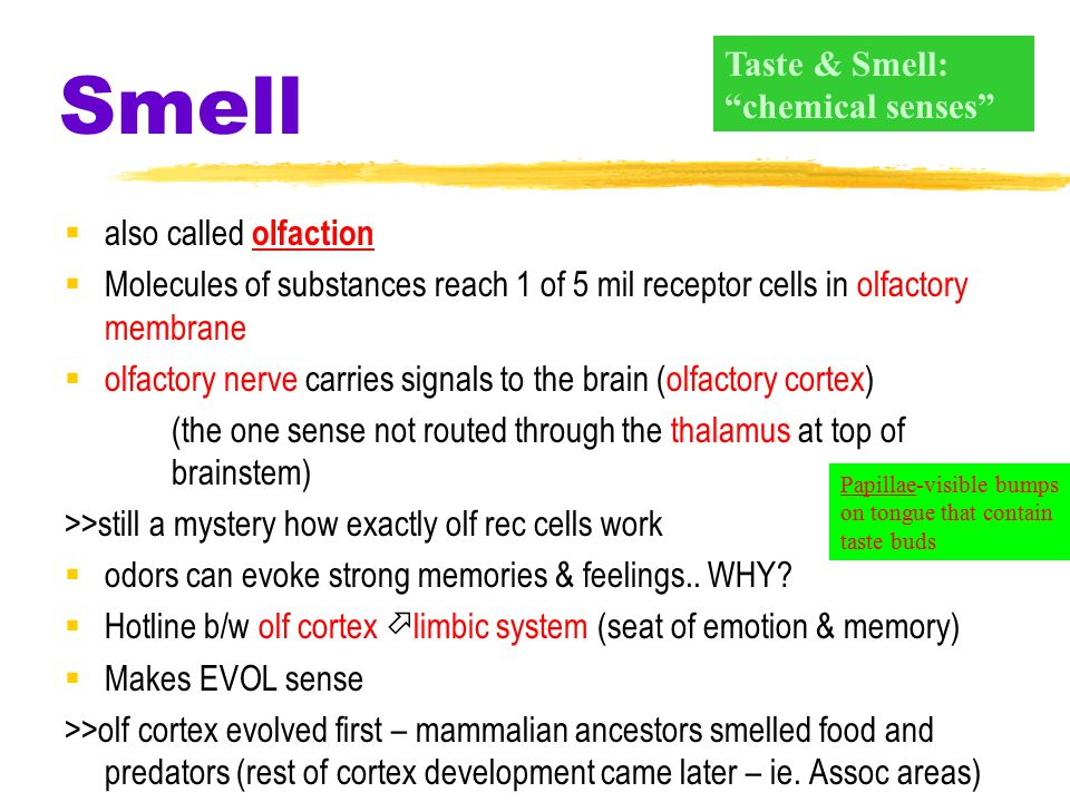 Smell  also called olfaction  Molecules of substances reach 1 of 5 mil receptor cells in olfactory membrane  olfactory nerve carries signals to the brain (olfactory cortex) (the one sense not routed through the thalamus at top of brainstem) >>still a mystery how exactly olf rec cells work  odors can evoke strong memories & feelings..