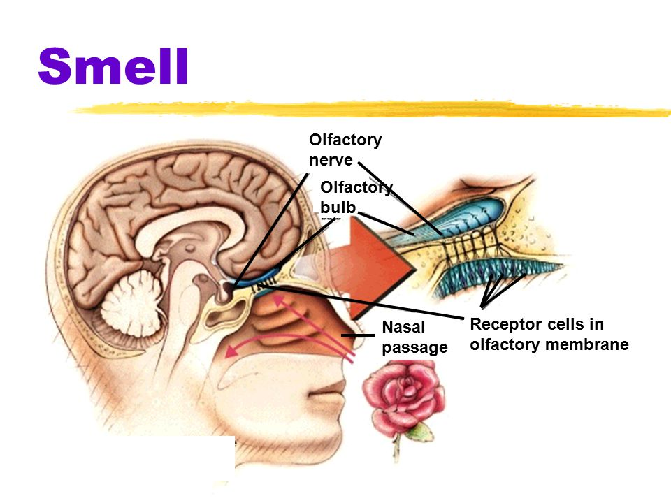 Smell Receptor cells in olfactory membrane Nasal passage Olfactory bulb Olfactory nerve