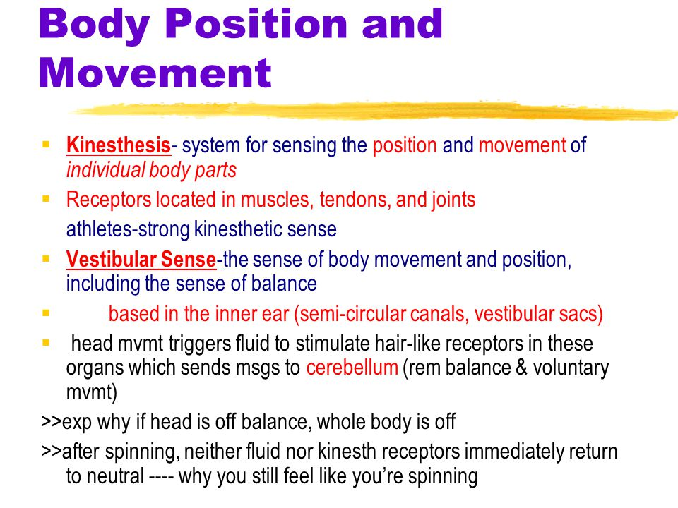 Body Position and Movement  Kinesthesis - system for sensing the position and movement of individual body parts  Receptors located in muscles, tendons, and joints athletes-strong kinesthetic sense  Vestibular Sense -the sense of body movement and position, including the sense of balance  based in the inner ear (semi-circular canals, vestibular sacs)  head mvmt triggers fluid to stimulate hair-like receptors in these organs which sends msgs to cerebellum (rem balance & voluntary mvmt) >>exp why if head is off balance, whole body is off >>after spinning, neither fluid nor kinesth receptors immediately return to neutral ---- why you still feel like you're spinning