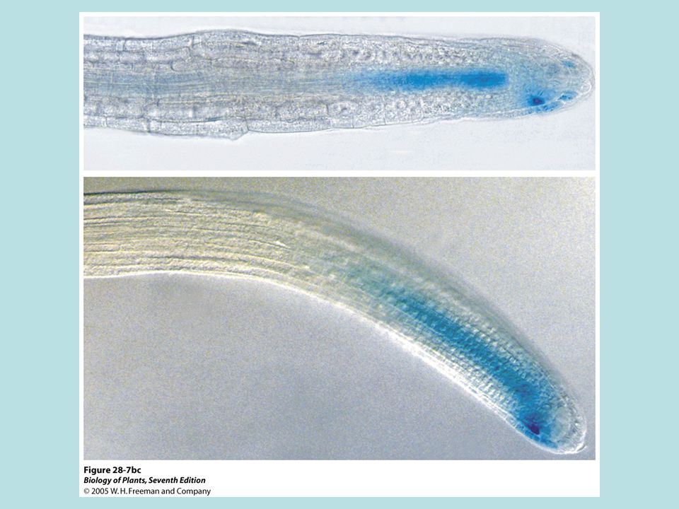 Gibberellin Elongation of shoots Seed germination Stimulation of flowering in some plants