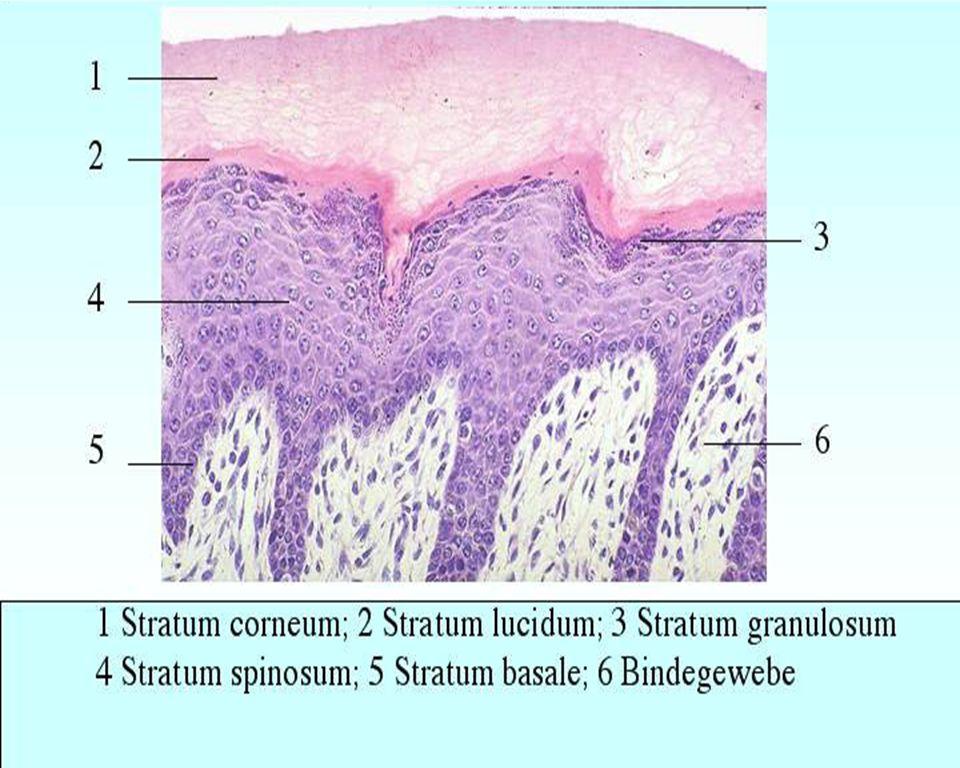 Stratum basale (stratum germinativum): produce new keratinocytes/ tonofilaments for attachment *melanocytes found here