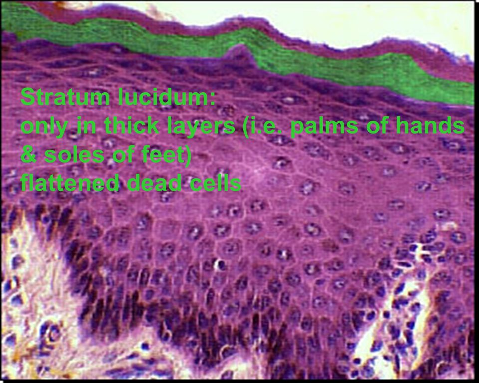Stratum corneum: flattened, dead, continually shed ¾ of epidermal thickness Durable, protects deeper cells from environment and water loss; resists biological, chemical, physical damage