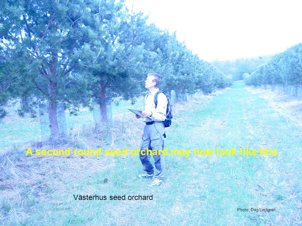Recommended area for using the seed orchard Västerhus (T10) Latitude for plus tree origin 63°30 Category: Tested Location: Latitude 63,8 N Elevation 15 m Established 1991