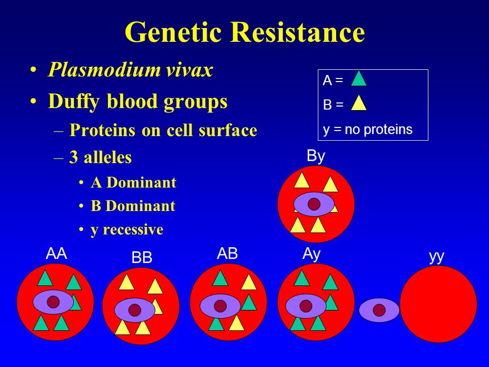 Genetic Resistance yy genotype has advantage –P.vivax malaria resistance –Only advantageous if P.