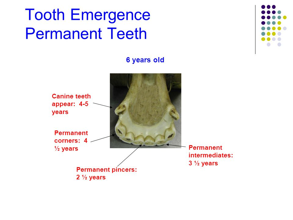 Tooth Wear As horses age, caps disappear from incisors As horses age, teeth become more triangular-shaped 15 years old 6 years old