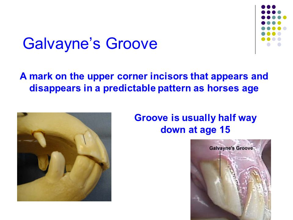 Galvayne's Groove A mark on the upper corner incisors that appears and disappears in a predictable pattern as horses age By age 20 the groove usually extends the full length of the tooth