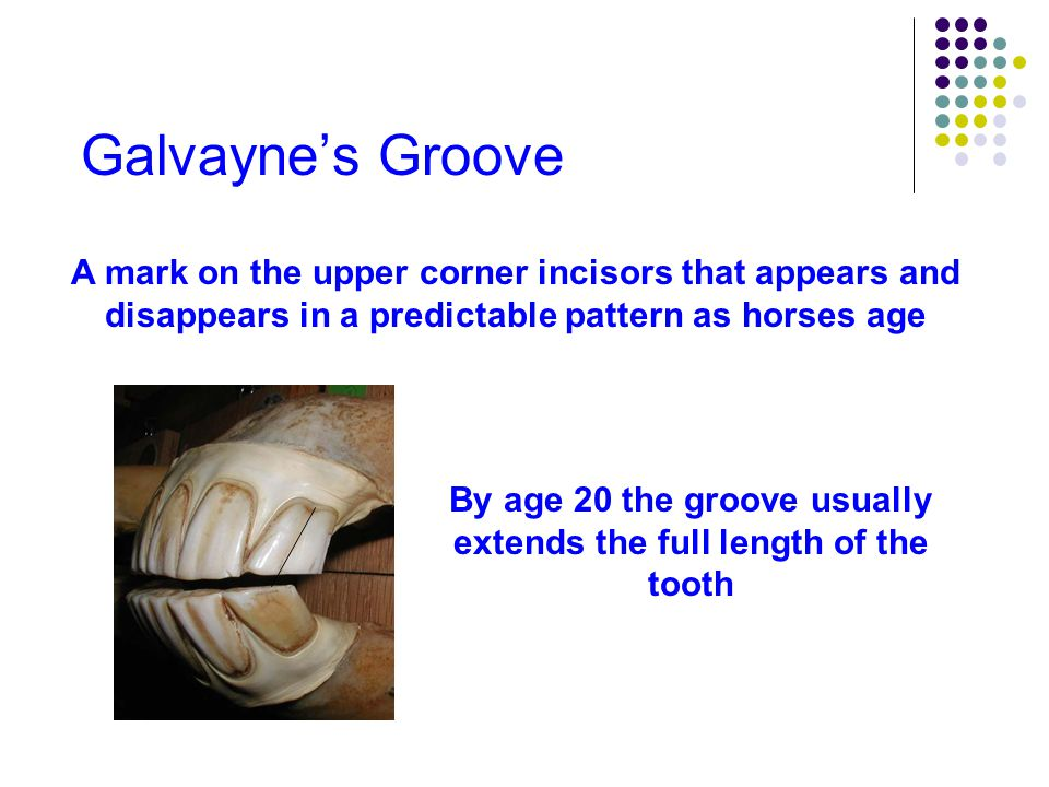 Galvayne's Groove A mark on the upper corner incisors that appears and disappears in a predictable pattern as horses age Groove begins to recede around age 21