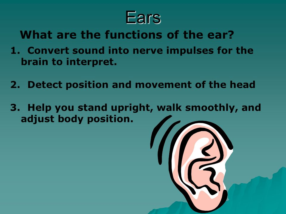 Parts of Ear Outer Ear  Channels sound waves into the ear canal  narrow cavity leading to middle ear  Sound waves strike the eardrum causing it to vibrate  thin membrane at end of ear canal