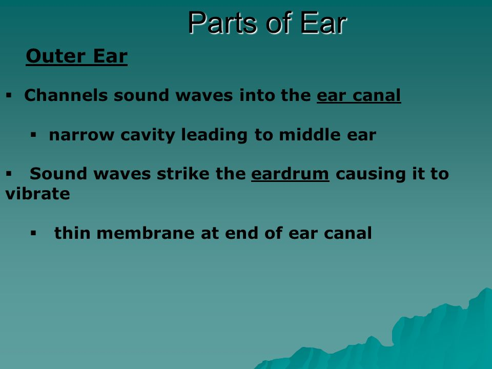 Parts of Ear Middle Ear  Vibrations from the eardrum pass to the Hammer, Anvil, & Stirrup  Three small bones (smallest in body)