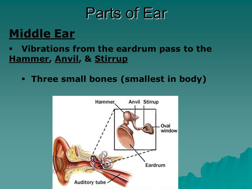 Parts of Ear Inner Ear  Vibrations from the stirrup pass to the oval window  clear membrane attached to the stirrup  oval window passes the vibrations to the fluid of the cochlea  spiral tube filled with fluid and hair  fluid in cochlea move the hairs, which stimulate cells to make nerve impulses  nerve impulses are gathered in the auditory nerve and travel to the brain  brain interprets the impulse as sound