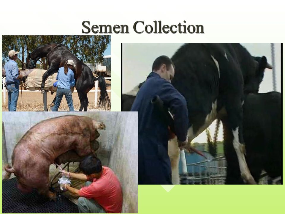Sexed Semen Sexed semen is semen that has been prepared to produce all male or all female offspring.