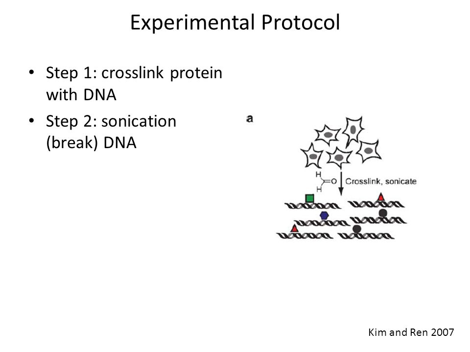 Experimental Protocol Step 1: crosslink –fix protein with DNA Step 2: sonication –break DNA Step 3: immuno- precipitation –Pull down target protein by specific antibody Kim and Ren 2007