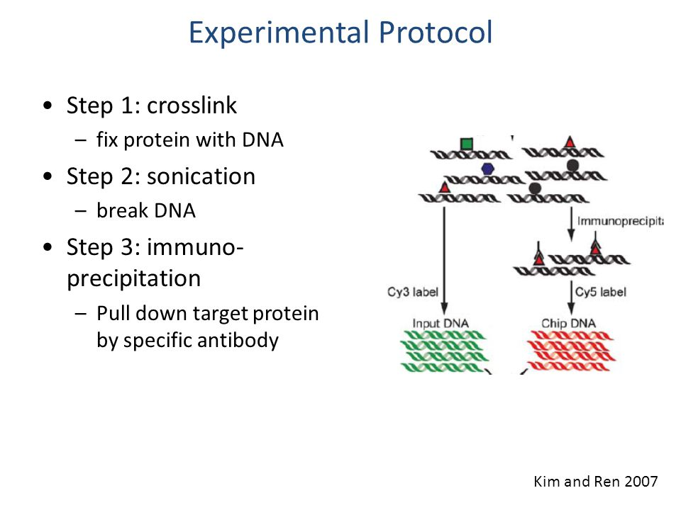 Experimental Protocol Step 1: crosslink –fix protein with DNA Step 2: sonication –break DNA Step 3: immuno- precipitation –Pull down target protein by specific antibody Step 4: hybridization –Hybridize input and pulled-down DNA on microarray Kim and Ren 2007