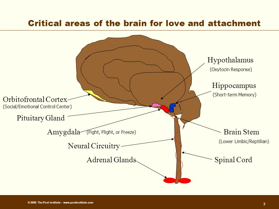 © 2008 The Post Institute – www.postinstitute.com 3 Critical areas of the brain for love and attachment Orbitofrontal Cortex Pituitary Gland Amygdala Hippocampus Adrenal GlandsSpinal Cord Neural Circuitry (Fight, Flight, or Freeze) (Lower Limbic/Reptilian) (Short-term Memory) (Social/Emotional Control Center) Brain Stem Hypothalamus (Oxytocin Response)