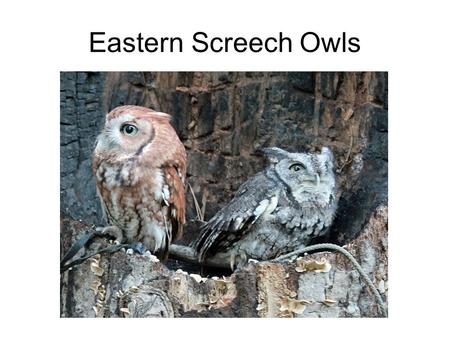 Eastern Screech Owls. SCIENCE 7 TOPIC 12 Three traits that all chordates share Which ones do we need to know?