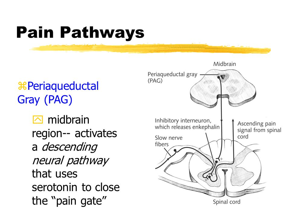 Gate Control Theory zProposed by Melzack & Wall (1965) yA neural gate in the spinal cord regulates the experience of pain yPain is not the result of a straight-through sensory channel
