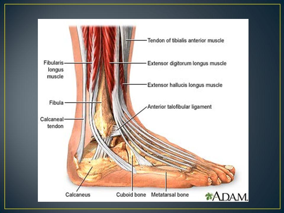 Tibialis Posterior (Tom) Flexor Digitorum Longus (Dick) Flexor Hallicus Longus (Harry) All do Plantar Flexion and Inversion FDL– flexion of toes 2-5 FHL—flexion of great toe