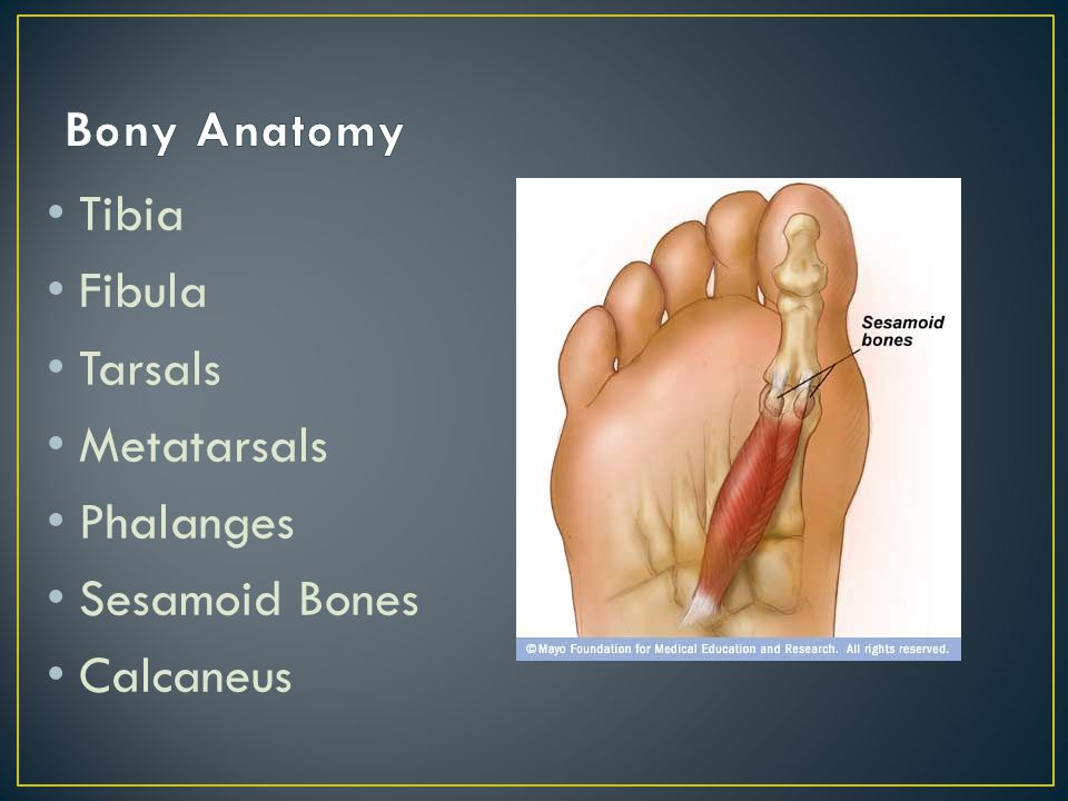 Weight bearing bone Articulates with fibula both inferiorly and superiorly Landmarks Tibial tuberosity (proximal) Tibial Plateau Medial Malleolus Shaft