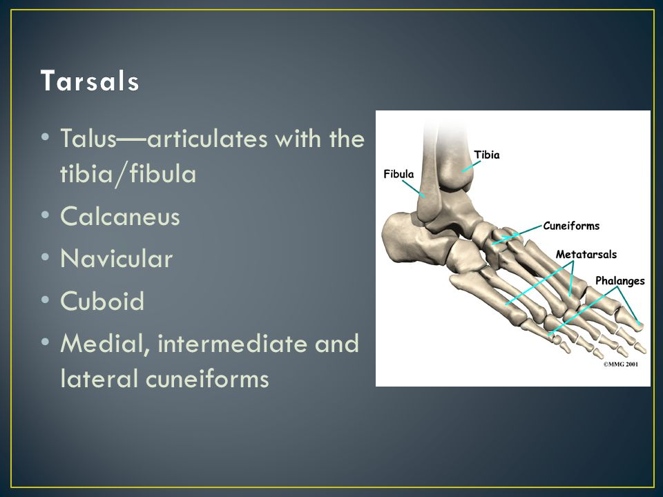 Tibiofibular joint--syndesmosis Ankle joint (talocrural) Ankle mortise Subtalar joint Metatarsalphalangeal joints (MP) Interphalangeal joints PIP DIP