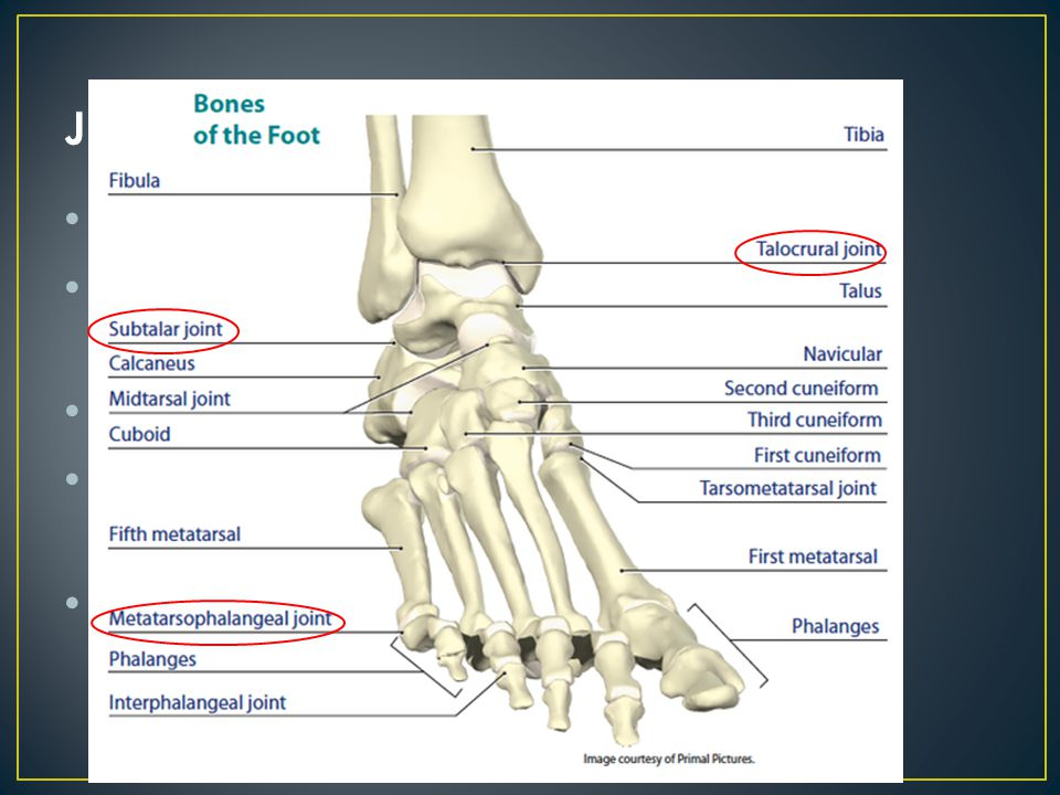 Transverse: proximal across tarsals Medial longitudinal arch: from calcaneus to 1 st metatarsal Strengthened by spring ligament (plantar calcaneonavicular ligament) Lateral longitudinal arch: from calcaneus to 5 th metatarsal Metatarsal arch: shaped by distal heads of metatarsals