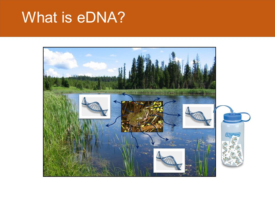 UV endonucleases/ exonucleases DNA in the aquatic environment DNA of ~100 bp can persist 2 – 3 weeks (Dejean et al.