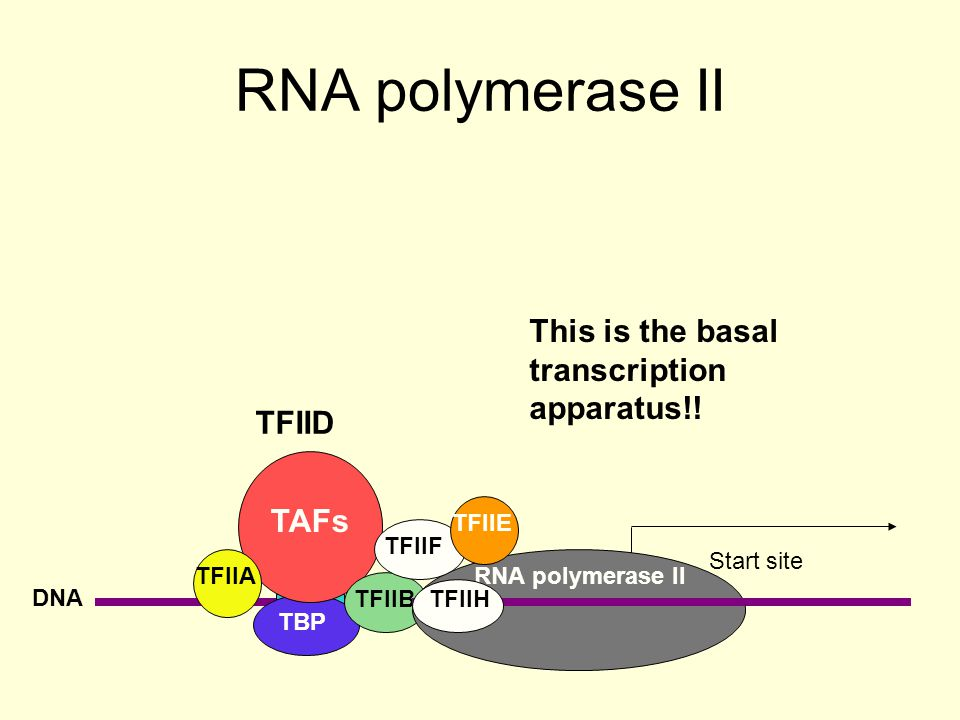 RNA polymerase II DNA TATA Start site TBP TAFs TFIID TFIIA TFIIB RNA polymerase II TFIIF TFIIE TFIIH TFIIH is the only transcription factor with enzymic activity.