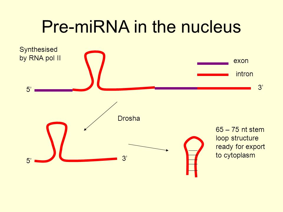Pre-miRNA in the cytoplasm 21 – 26 ds RNA 5' 3' 5' dicer 3'5' RISC Translational inhibition of partially complementary mRNA Degradation of complementary mRNA siRNA dicer